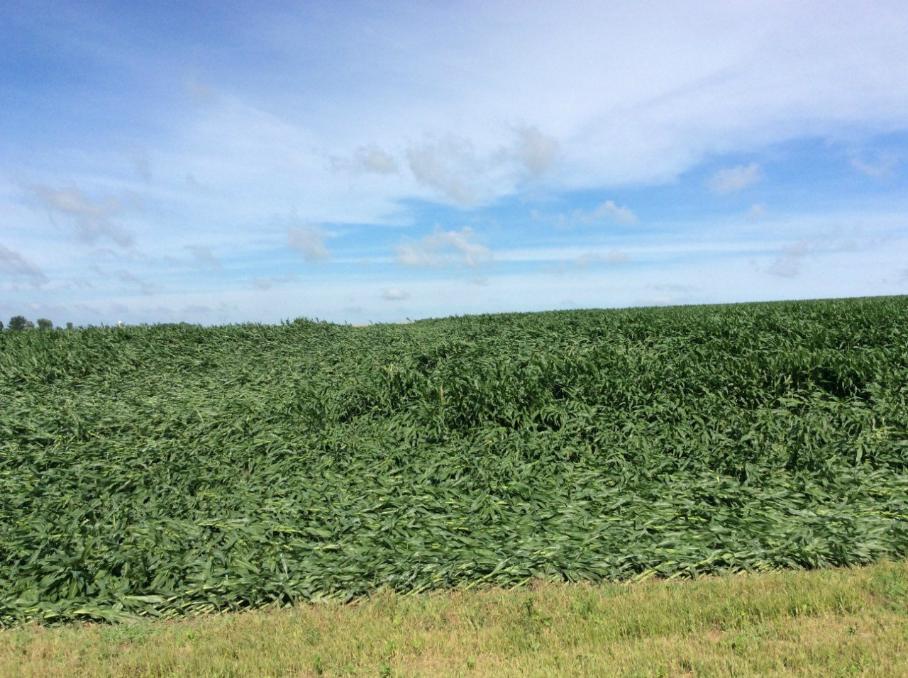Flattened crops near Lake City, Minnesota following a tornado and straight line winds that hit Tuesday night.