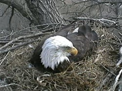 Photo from 2011 of bald eagle in its Decorah nest