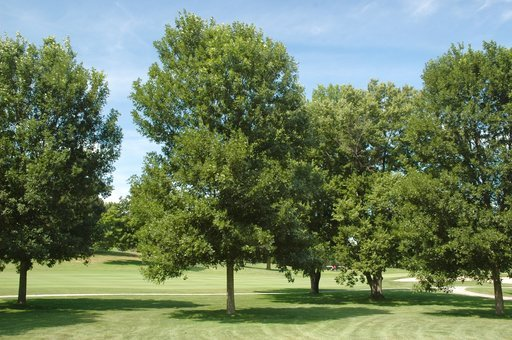 (Morton Arboretum via AP). This undated photo provided by the Morton Arboretum in September 2012 shows green ash trees (Fraxinus pennsylvanica).