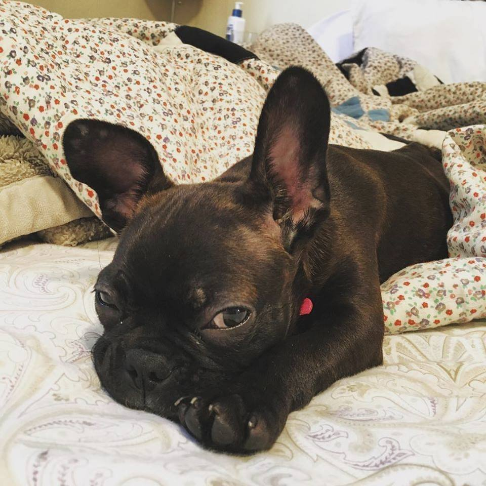 This undated photo provided by Natalie Sullivan shows Sullivan's French bulldog-Boston terrier mix puppy, Jane. Sullivan, of Brooklyn, says a pet store salesman talked her into a costly lease contract when she bought the dog. (Natalie Sullivan via AP)