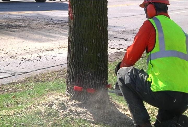 Crews take down over 100 ash tree on Losey Blvd.