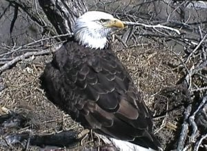 Decorah Iowa Eagle Electrocuted